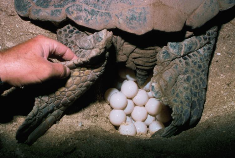 Когда черепахи откладывают яйца в домашних условиях