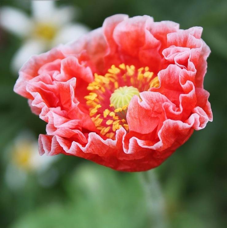 Цветы мак махровый