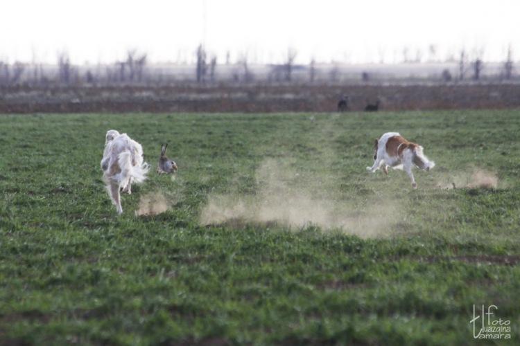 фото борзых на охоте